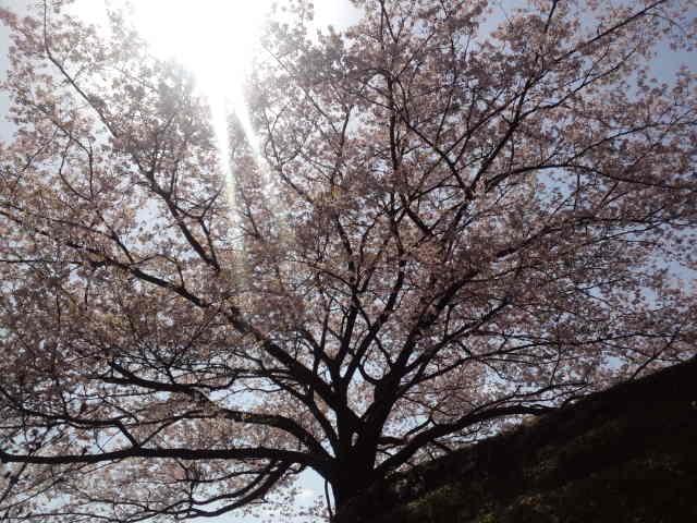 『南国市八京のヤマザクラ』